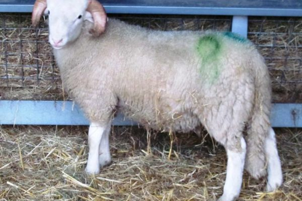 'Wharfedale Titan' purchased as a lamb from Holmfirth sale 2015